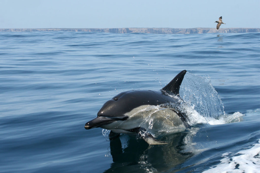 Dolphins Watching Algarve